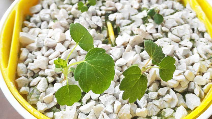 【100均で水耕栽培】ダイソーのインテリアにもなる手軽なプチ水耕栽培グッズ